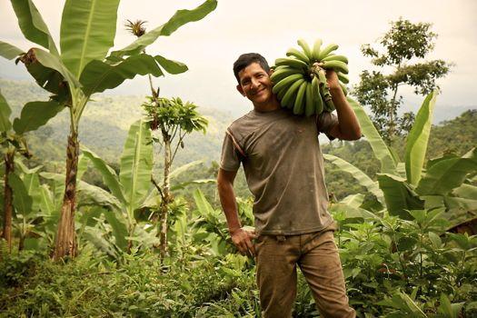 cultivo-bananas